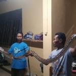 Foto: ular python yang dikeluarkan warga sepanjang 4 meter. Doc Heru.