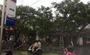 Tiga Pohon Tumbang Dihantam Hujan Angin Di Benculuk