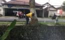 Delapan Pohon Tepi Jalan Benculuk, Ancam Pengguna Jalan