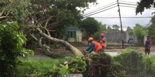 Hujan Angin Robohkan Tujuh Pohon, Diantaranya Didepan TK Tunas Rimba Benculuk