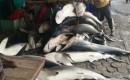 Nelayan Muncar Rame – Rame Berburu Ikan Hiu