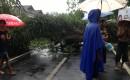 Banyuwangi Bentuk Satgas Pohon Tumbang
